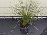 De Mexicaanse Grasboom - Dasylirion Longissumum 80 cm