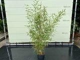 Phyllostachys Aurea - Bamboe Aurea. Hoogte 175 cm_