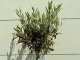 Olea Europea - Olijfboom met gladde stam, stamomvang 4 - 6cm