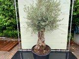 Olea Europea - Olijfboom bonsai stamomvang 80 - 100 cm_