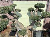 olijfboom pon-pon 100 - 110cm