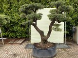 Olea Europea - Olijfboom pon-pon, stamomvang 100 - 110 cm_