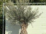 Olea Europea - Olijfboom Bonsai, stamomvang 80 - 100cm in hardhouten bak