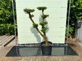 Olea Europea - Olijfboom pon-pon, stamomvang 30 - 40 cm_