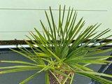 Trachycarpus Fortunei 10 cm stamhoogte_