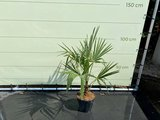 Trachycarpus Fortunei 15-20 cm stamhoogte_