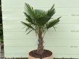 Trachycarpus fortunei - Palm 150 cm in half wijnvat_