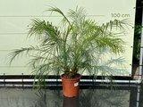Phoenix Roebelenii stamhoogte 10-30 cm_