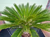 Cycas revoluta stamhoogte 40-50 cm_