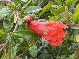 granaatappelboom 190cm