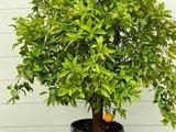 Sinaasappelboom maat XL 180 cm_