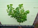 Citroenboom maat L 140 cm_