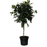 Citroenboom maat L - 140cm