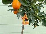 Kumquat maat L 140 cm_