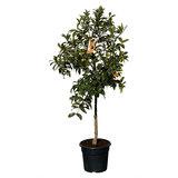 Kumquat maat L 140 cm