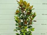 Magnolia Grandiflora Gallisoniensis 200 CM_