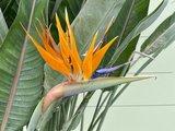 Paradijsvogelbloem - Strelitzia Reginae 80 - 100cm