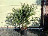 3 stammige palmboom - Trachycarpus Fortunei multistam 75 cm