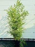 Bamboe Bissetii