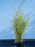 Bamboe Spectabilis