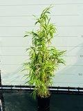 Bamboe Metake