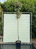 Quercus Ilex  / Lei Steeneik