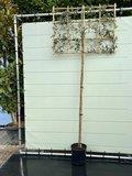 Quercus Ilex std Espalier