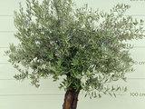 Olea Europea - Olijfboom, stamomvang 50 - 70  cm _