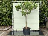 Vijgenboom - 250cm, stamomvang 30-40 cm met zoete donkere vijg