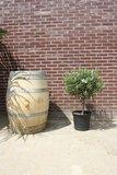 olijfboom bol op stam 100cm