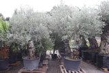olijfboom 60/80cm stamomvang