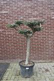 olijfboom pon-pon 20 - 30cm