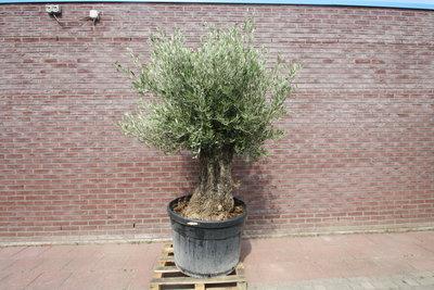 Olijfboom mini bonsai stamomvang 50 - 60cm