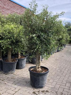 Olijfboom gladde stam stamomvang 25 - 40cm