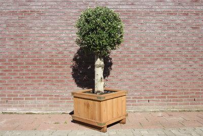 Olijfboom bol op stam 190cm, in hardhouten bak