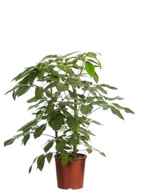 Schefflera Amate, Vingersboom