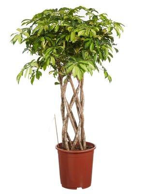 Vingersboom Schefflera Trinette
