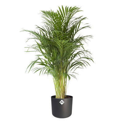 Goudpalm in ® ELHO b.for soft sierpot, Areca Dypsis