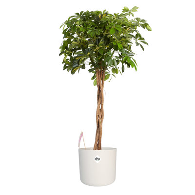 Vingersboom in ® ELHO b.for soft sierpot, Schefflera Gold Capella
