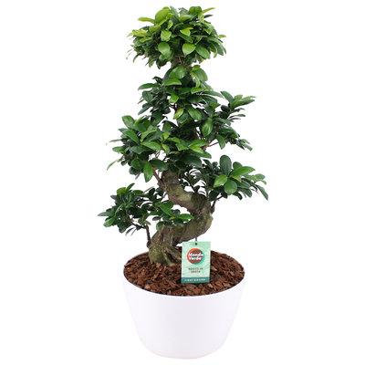 Ficus Gin Seng Bonsai met Wit Keramiek