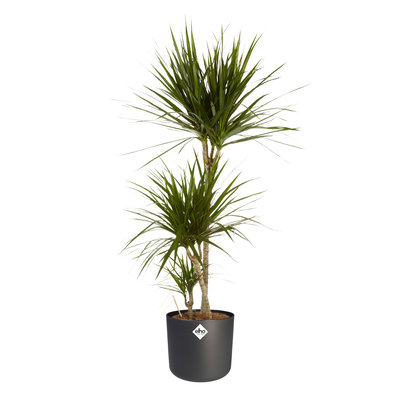 Dracaena Marginata  in ® ELHO b.for soft sierpot, Dracaena Marginata