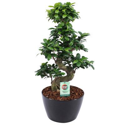 Ficus Gin Seng Bonsai met Zwart Keramiek