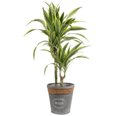 Dracaena 'lemon lime' in grijze chipwood pot