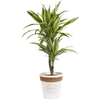 Dracaena 'lemon lime' in witte chipwood pot