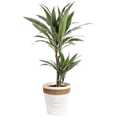 Dracaena Fragrans Warneckei in witte chipwood pot
