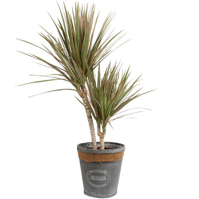Dracaena Marginata Bicolour in grijze chipwood pot