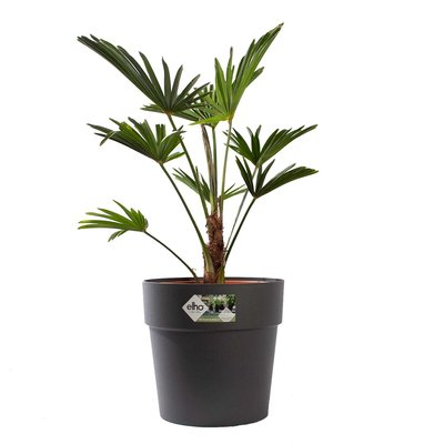 Wagner palm met pot