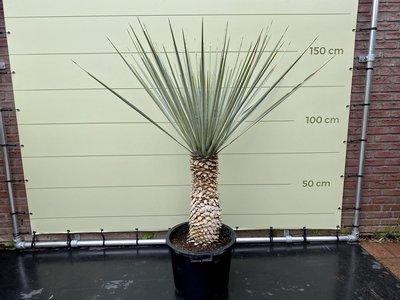 Yucca Rigida stamhoogte 50-70cm