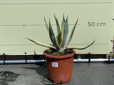 Agave Americana 50 cm