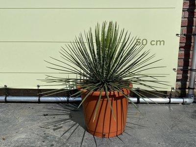 Agave Geminiflora 70 cm